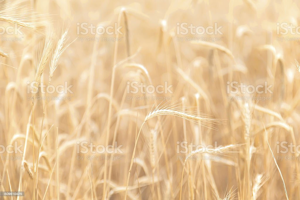 Wheat closeup soft stock photo