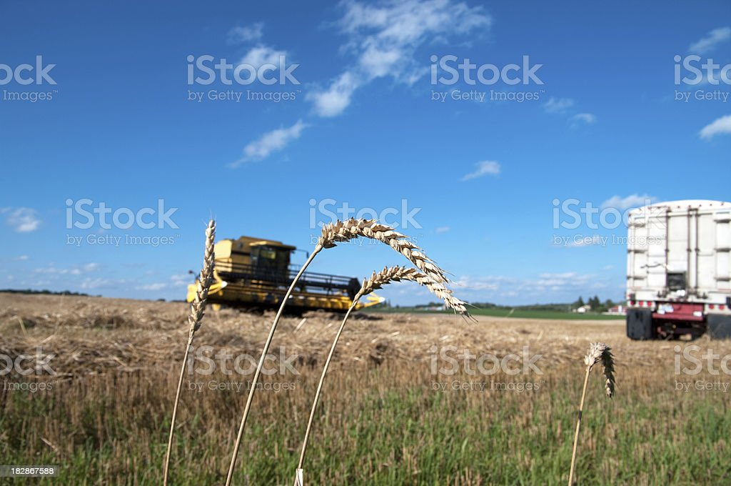 Wheat Combining stock photo