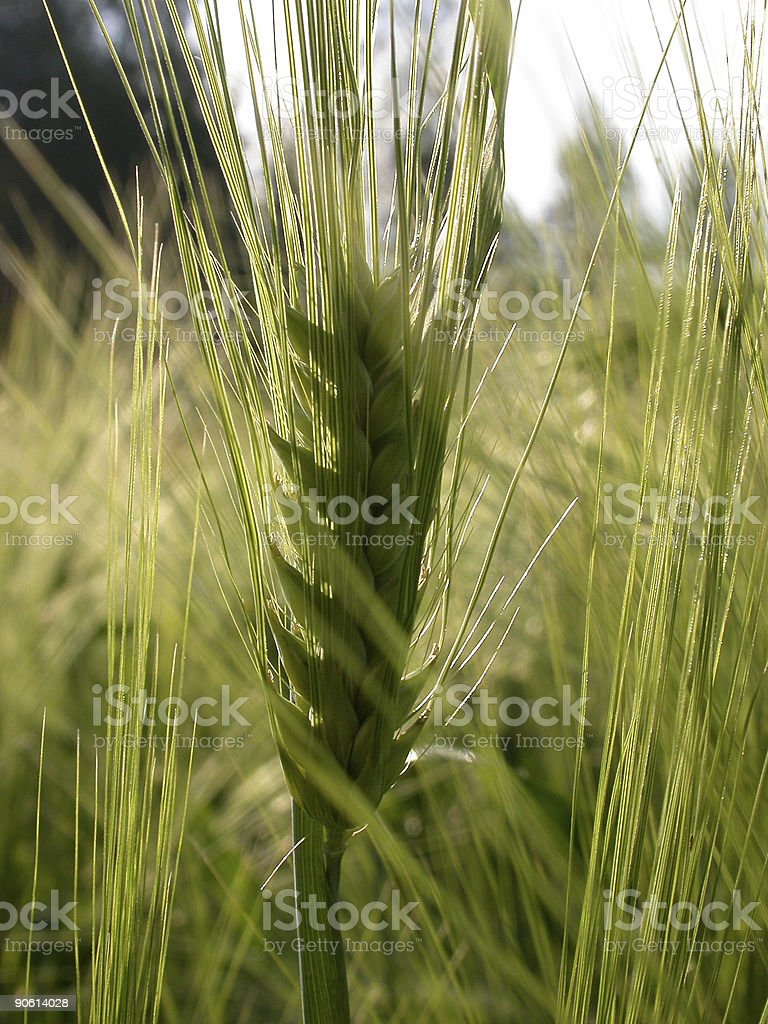 Wheat Crop royalty-free stock photo