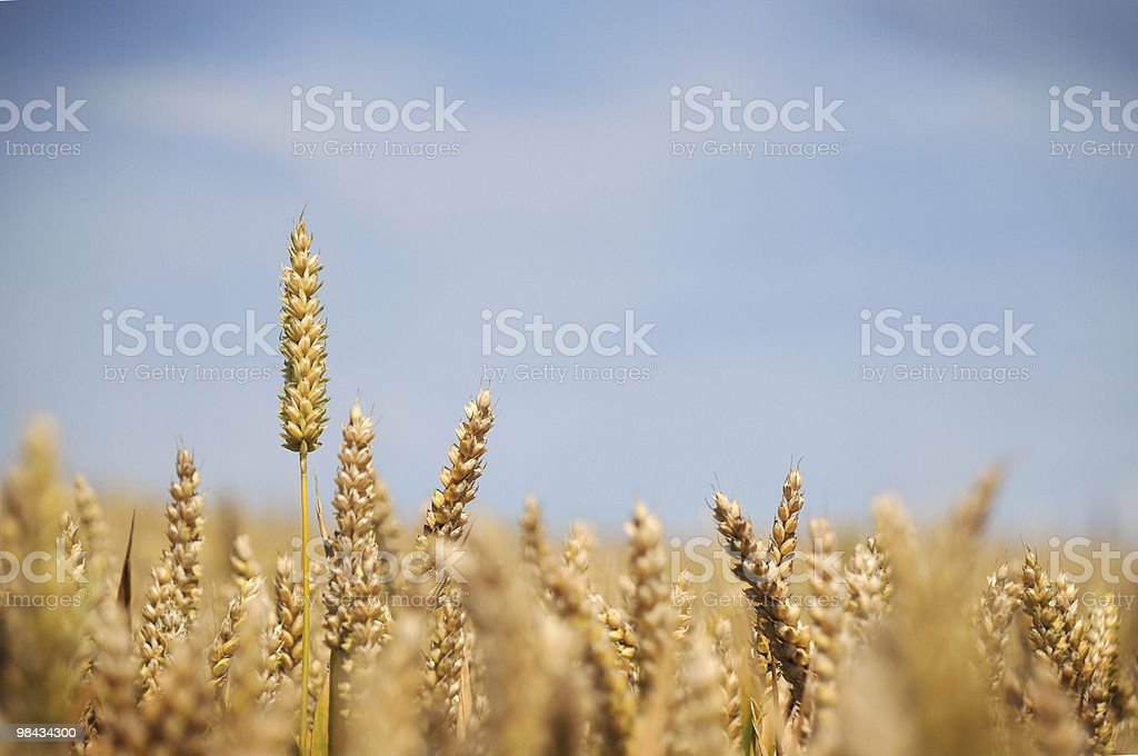 Grano Raccolto foto stock royalty-free