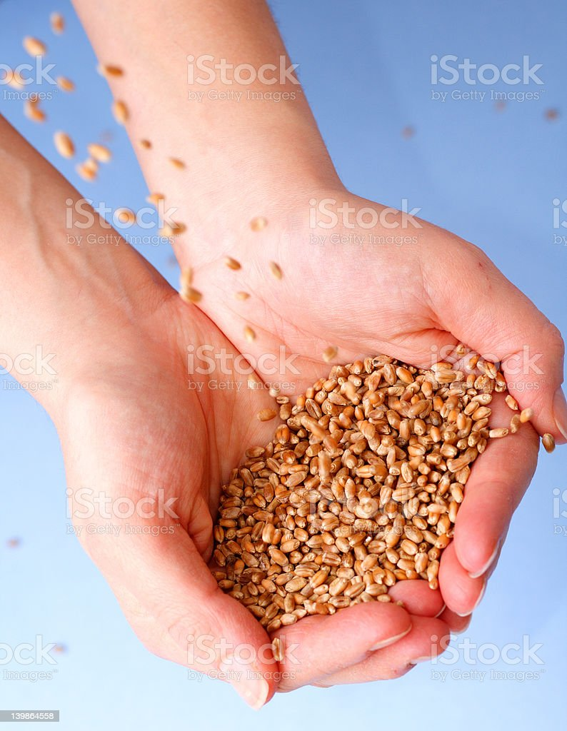 Wheat crops in hands royalty-free stock photo