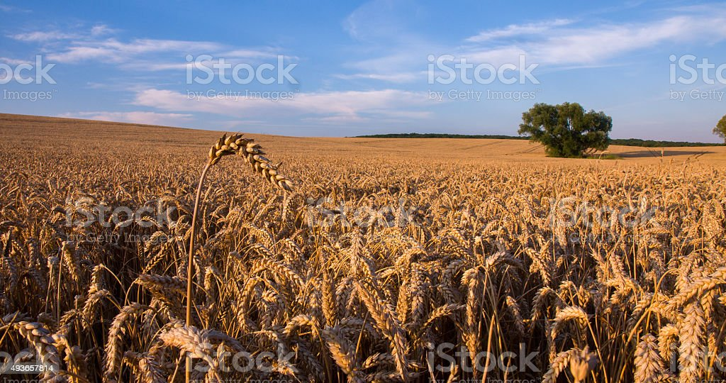 Wheat Ear Against Solitary Tree stock photo