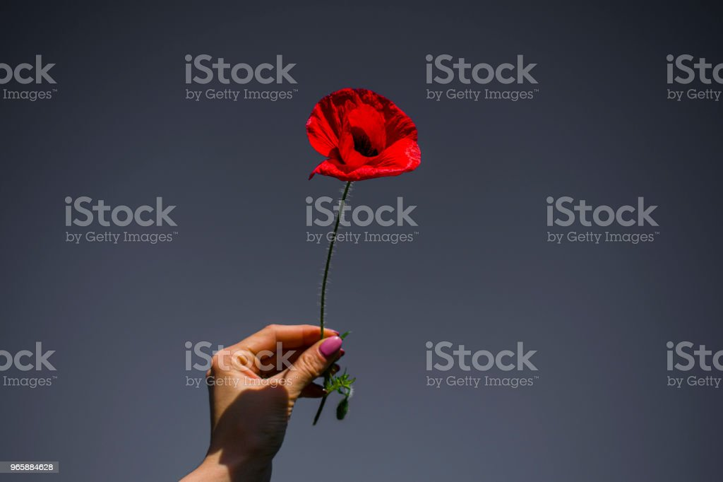 wheat ear and red poppy on blue sky background in female work - Royalty-free Agricultura Foto de stock