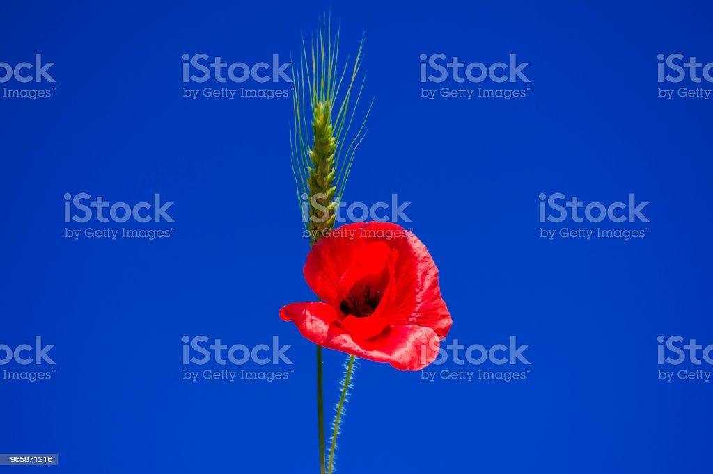 tarwe oor en rode papavers op de hemelachtergrond - Royalty-free Blauw Stockfoto