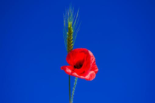 Tarwe Oor En Rode Papavers Op De Hemelachtergrond Stockfoto en meer beelden van Blauw