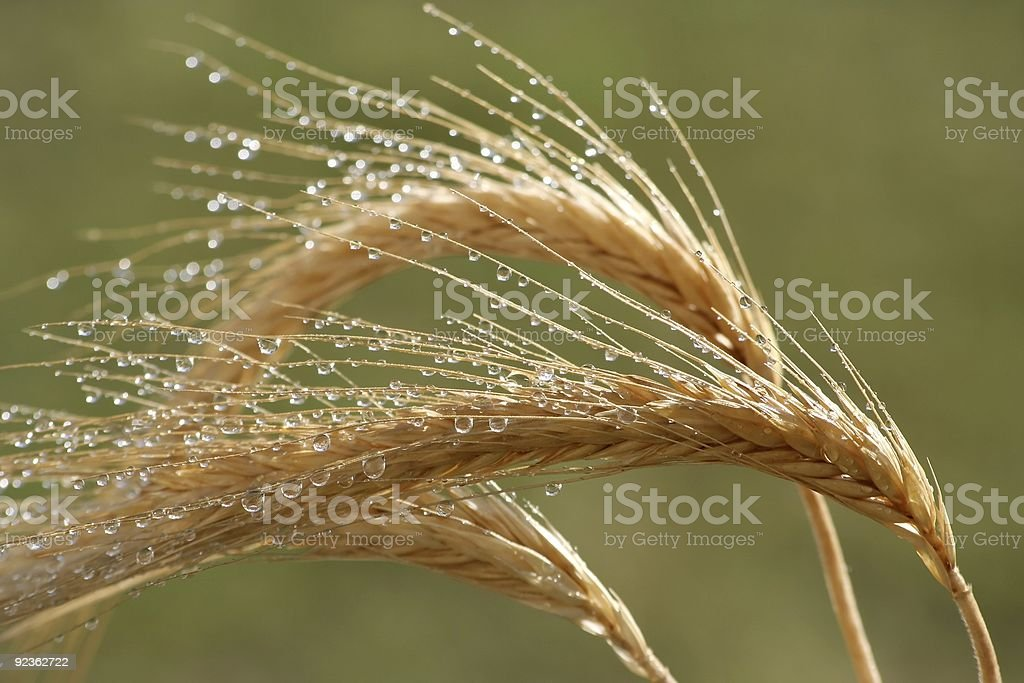 Wheat Ears and Water Drops royalty-free stock photo