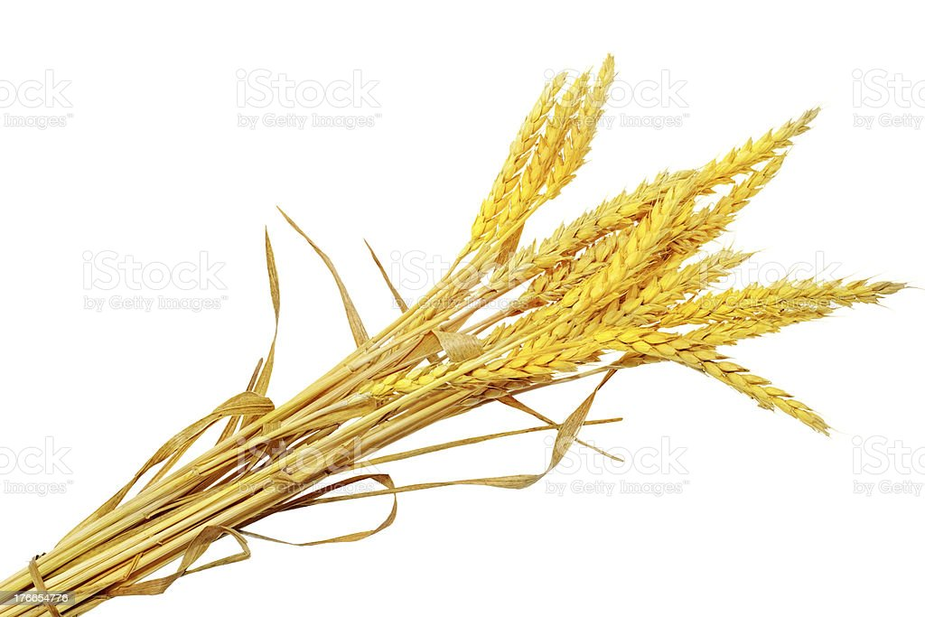Wheat ears ilie.  Isolated on white background royalty-free stock photo
