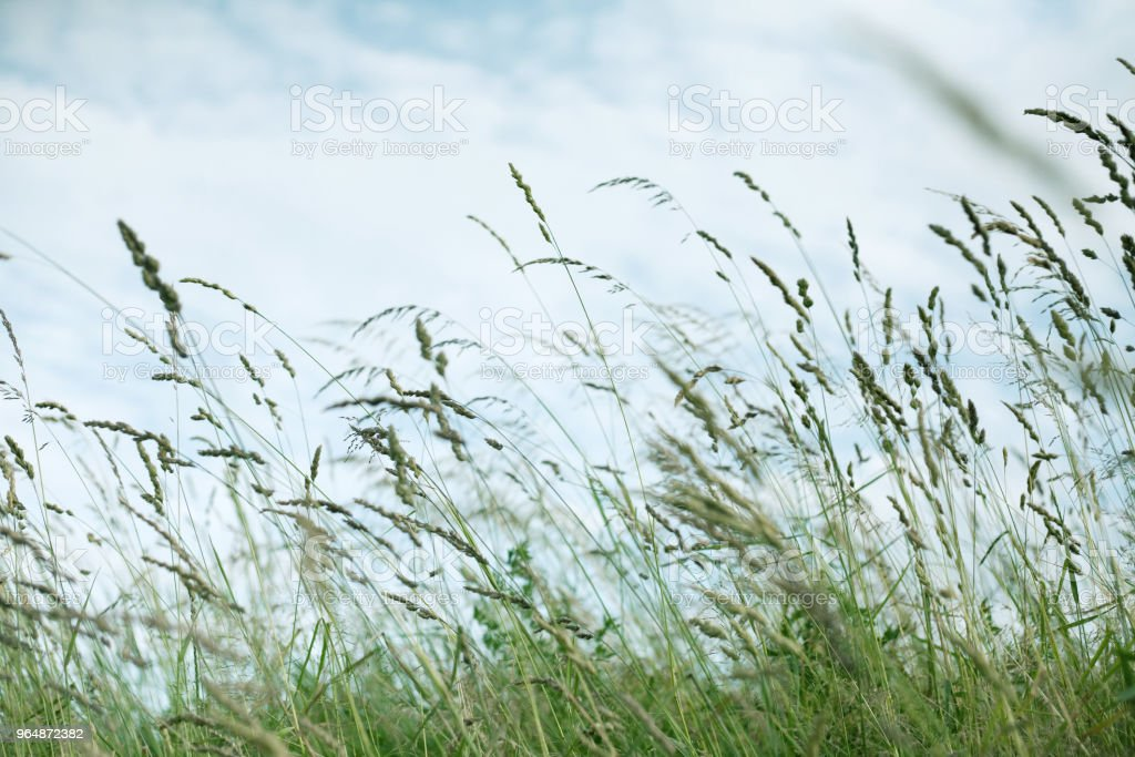 Wheat ears in a field in the wind. Grass and sky, nature environment. royalty-free stock photo