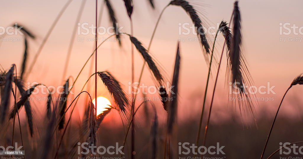 Wheat Ears In The Dusk stock photo