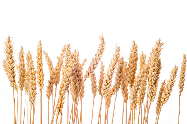 Wheat ears isolated on a white background Ripe wheat ears isolated on a white background oat crop stock pictures, royalty-free photos & images