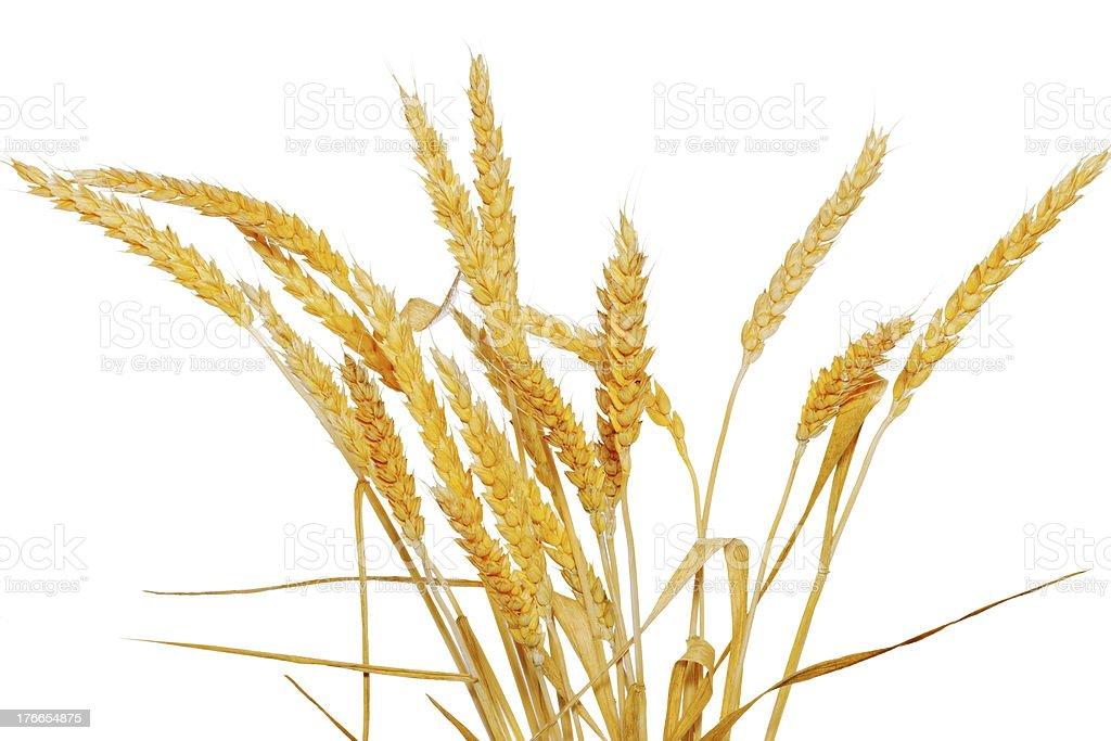 Orejas de trigo aislado sobre fondo blanco foto de stock libre de derechos