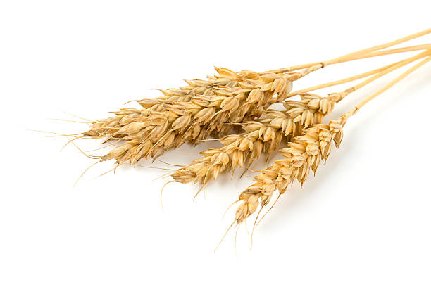 wheat ears isolated on white background wheat ears isolated on white background ear of wheat stock pictures, royalty-free photos & images