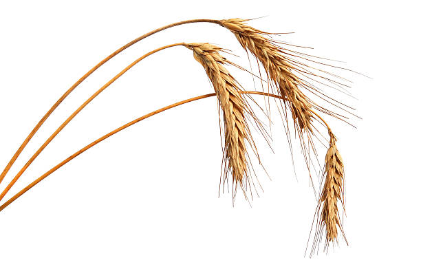 Wheat ears Wheat ears isolated on white background spelt stock pictures, royalty-free photos & images