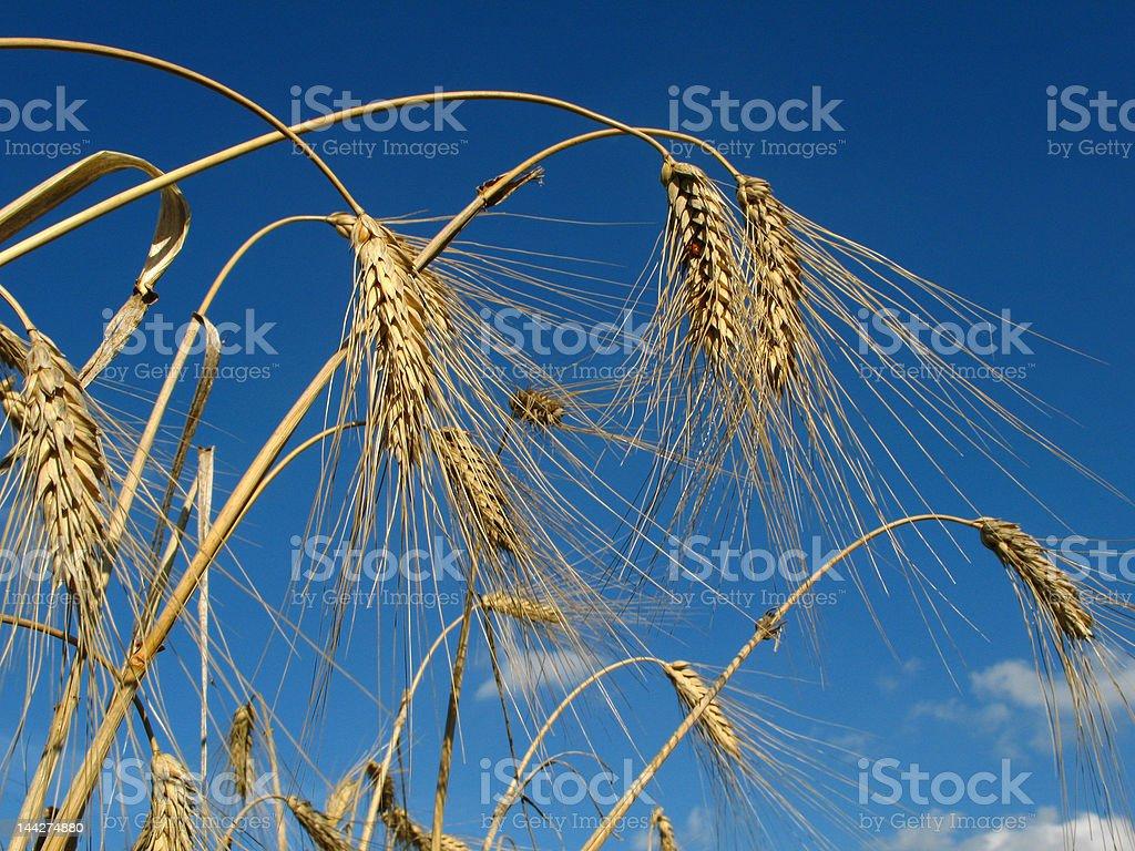 wheat ears royalty-free stock photo