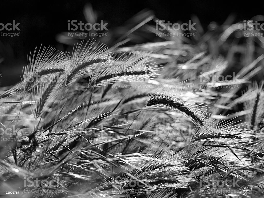 wheat ears royalty-free stock photo