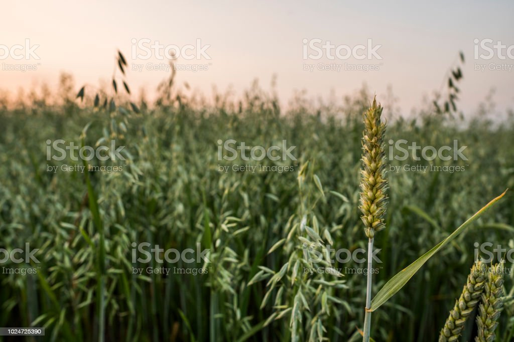 Wheat ears sting on a oats field. Close up on a green ears of wheat...