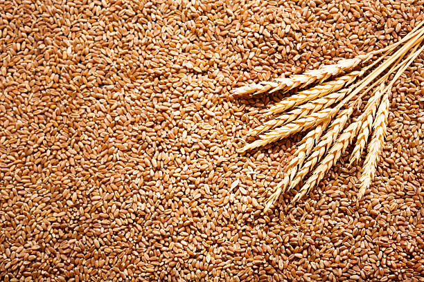 wheat ears with grains stock photo