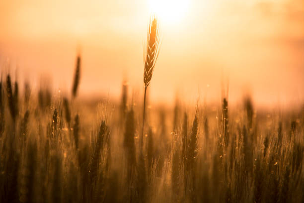 Wheat eat in sunset Wheat ear in sunset ear of wheat stock pictures, royalty-free photos & images