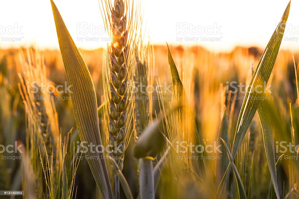Wheat Farm Field at Golden Sunset or Sunrise - foto de stock
