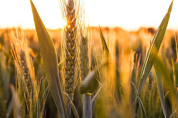 Wheat Farm Field at Golden Sunset or Sunrise - foto de stock