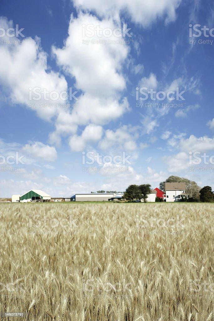 XXXL wheat farm royalty-free stock photo