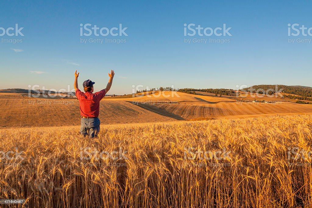 Wheat farmer raises hands in thankfulness in crop (P) stock photo