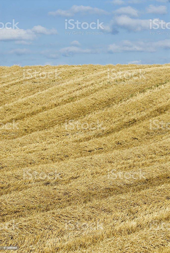 Wheat farming field with blue sky stock photo