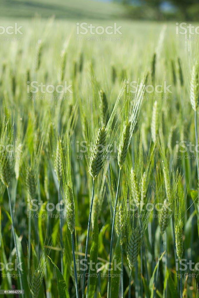 Wheat fieald stock photo