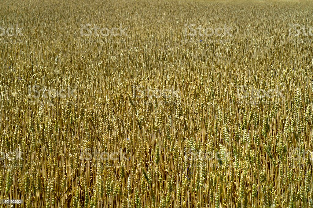 Wheat field 4 royalty-free stock photo