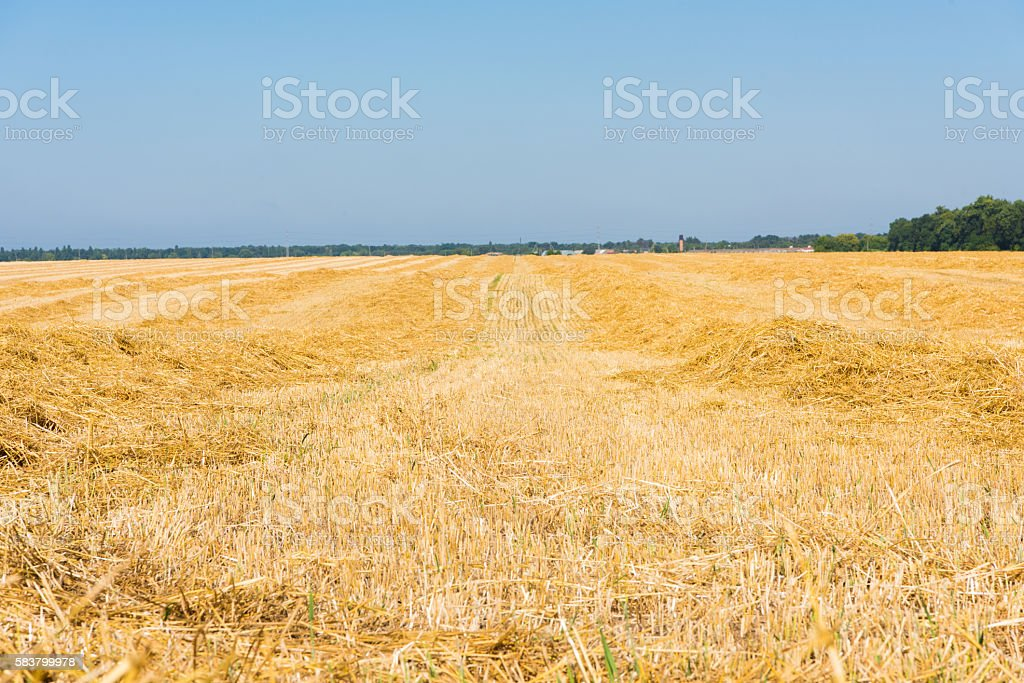 wheat field after harvest stock photo