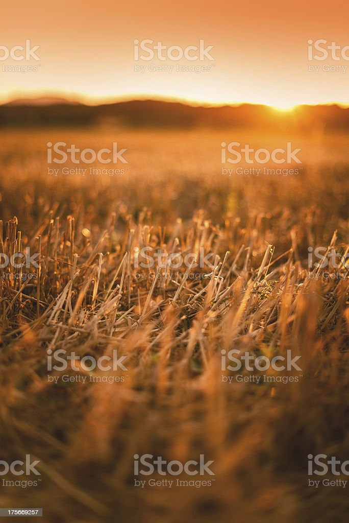Wheat field after harvesting on sunset royalty-free stock photo