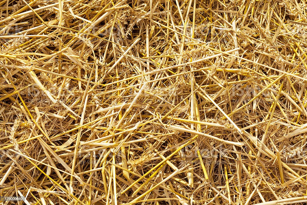 Wheat field after harvesting royalty-free stock photo