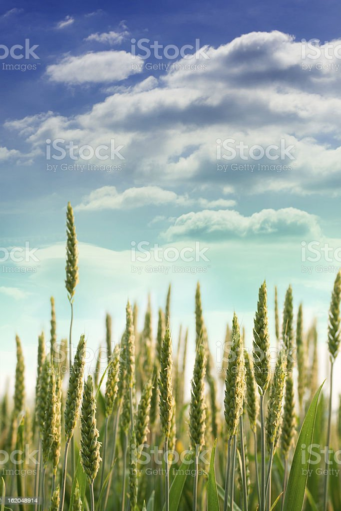 Wheat field against a blue sky royalty-free stock photo