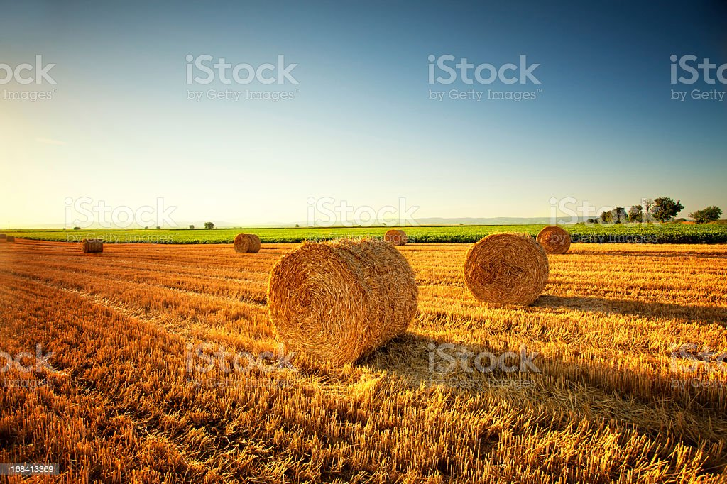 A wheat field against a blue sky royalty-free stock photo