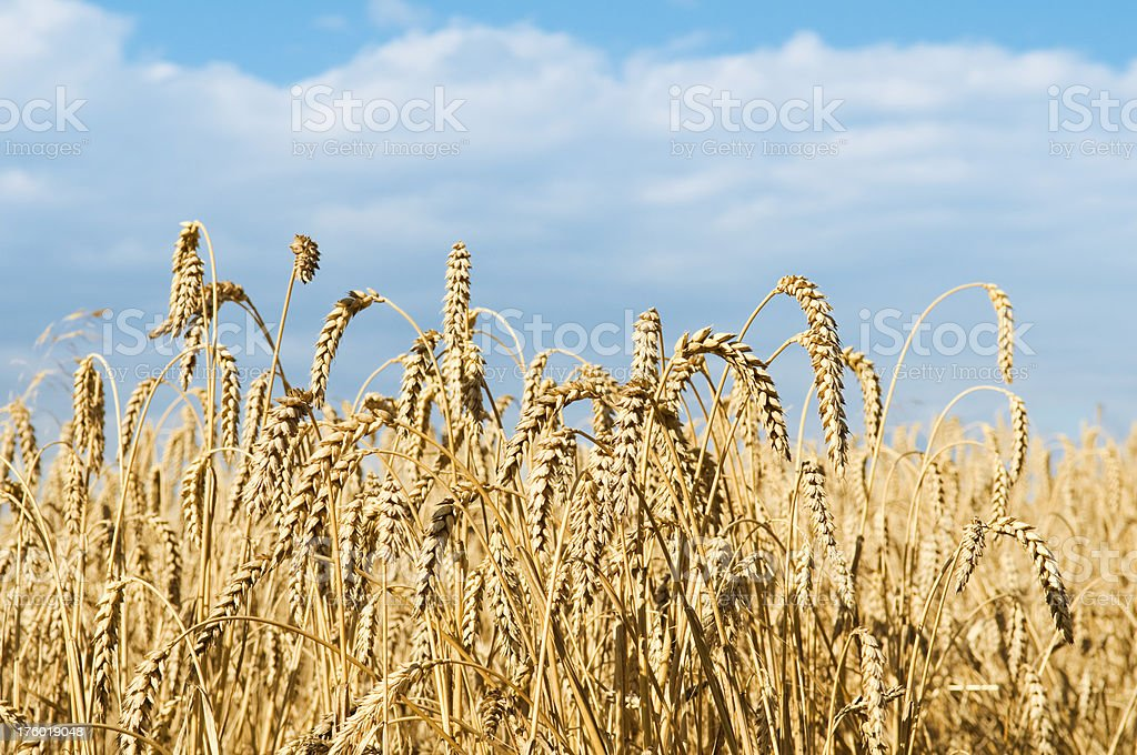 Wheat field against blue sky royalty-free stock photo