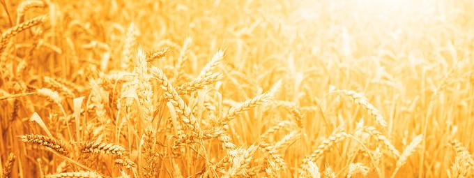 istock Wheat field against sunset. 1018346290