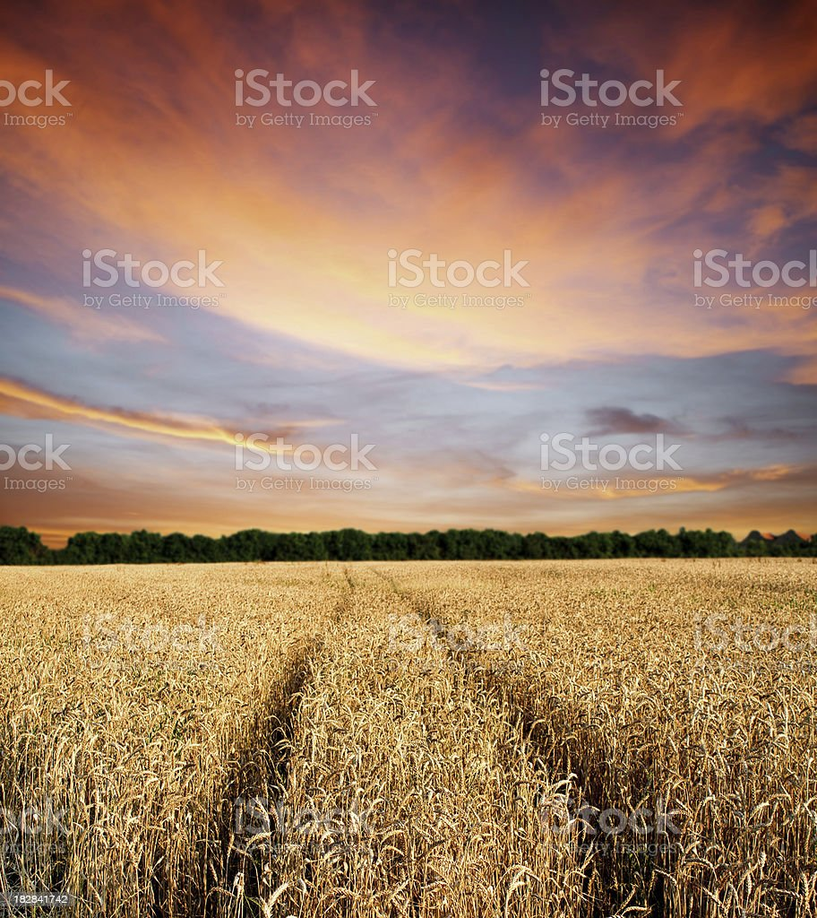 Wheat  field against sunset sky royalty-free stock photo