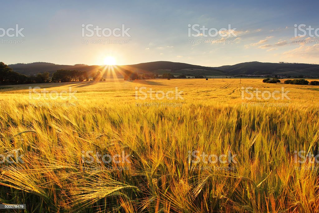Wheat field - agriculture farm, industry stock photo