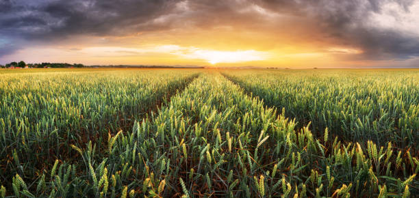 Weizenfeld - Landwirtschaft – Foto