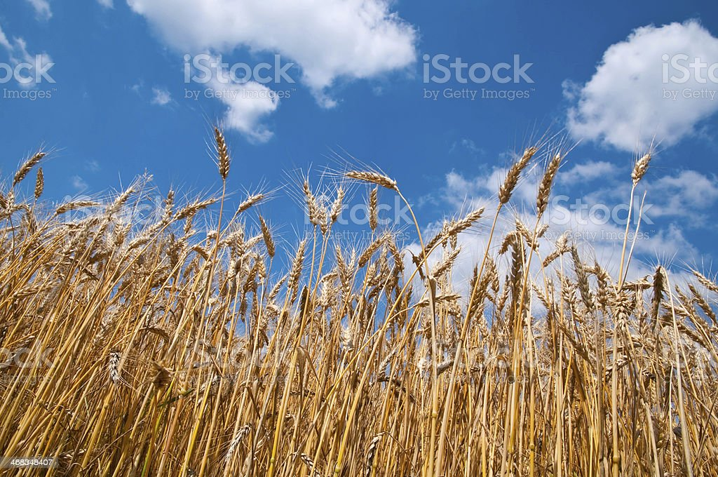 Wheat field and blue sky royalty-free stock photo