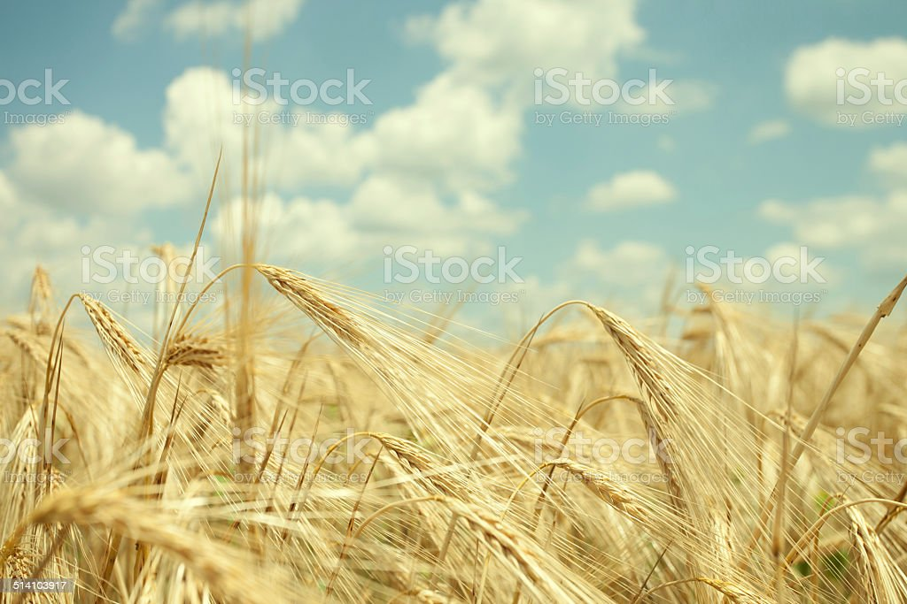 Wheat field and blue sky with clouds. stock photo