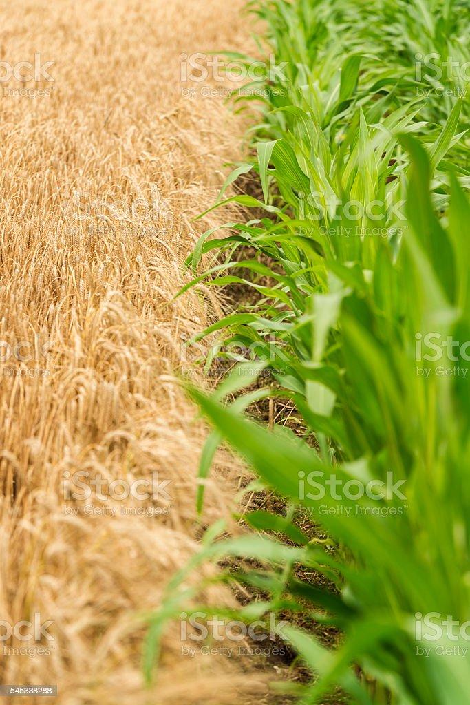 Wheat field and cornfieldWheat field and cornfield stock photo