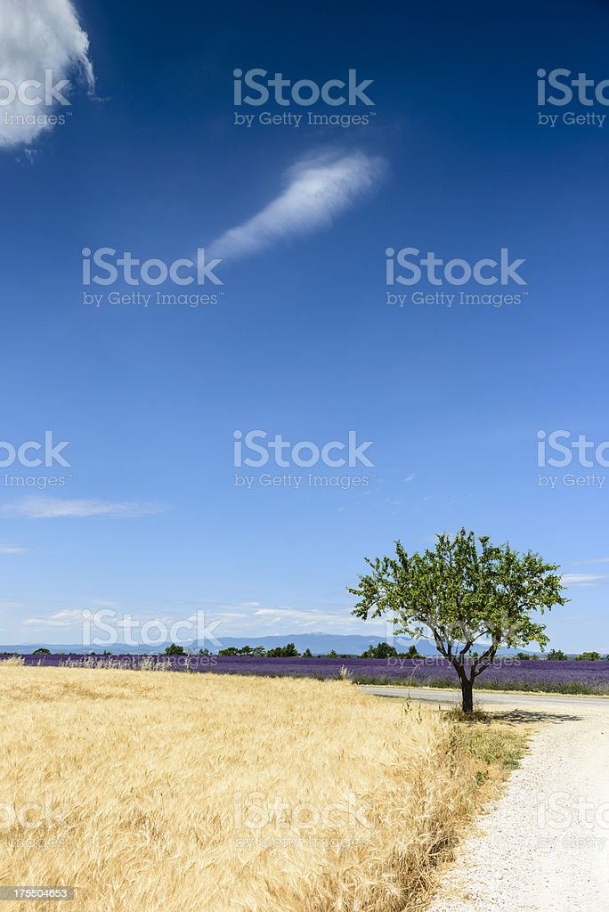 Wheat field and lavender - Valensole, France royalty-free stock photo