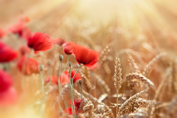 Wheat field and red poppy flowers lit by sun rays – Foto