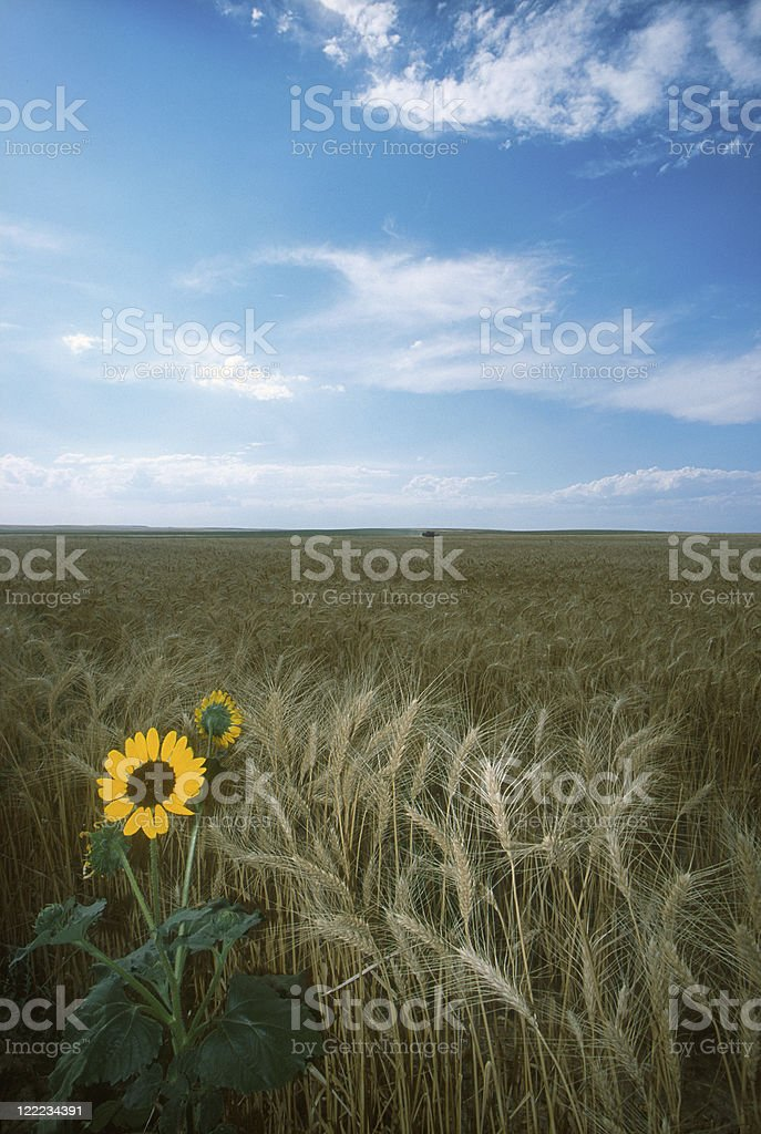 Wheat Field and Sunflower royalty-free stock photo