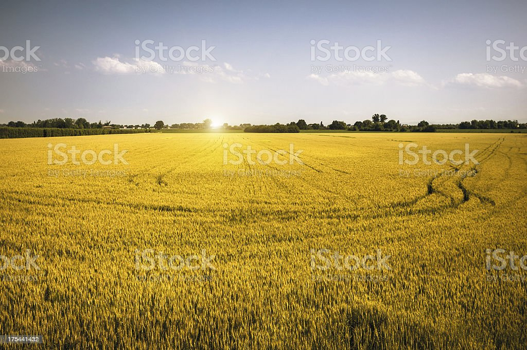 Wheat Field and Tracks at Sunrise royalty-free stock photo