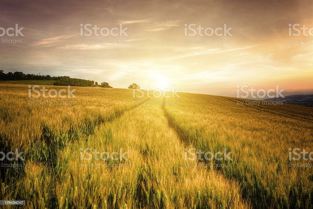 Wheat Field and Tracks at Sunset royalty-free stock photo