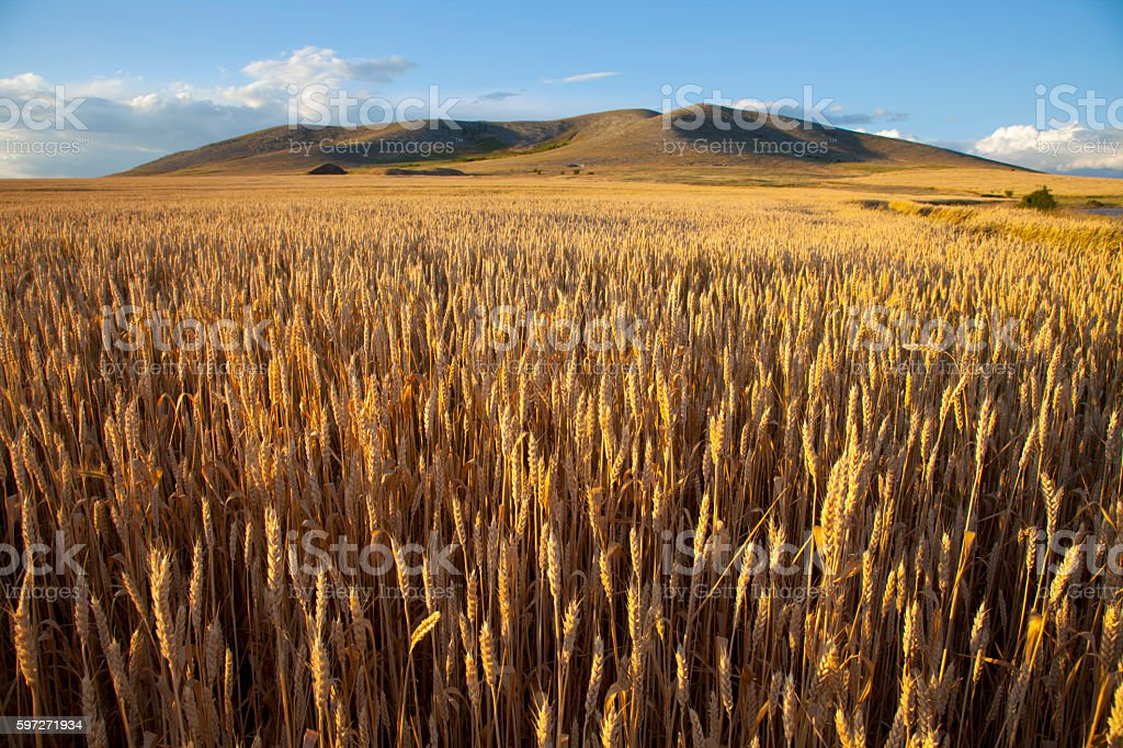 wheat field at dusk royalty-free stock photo