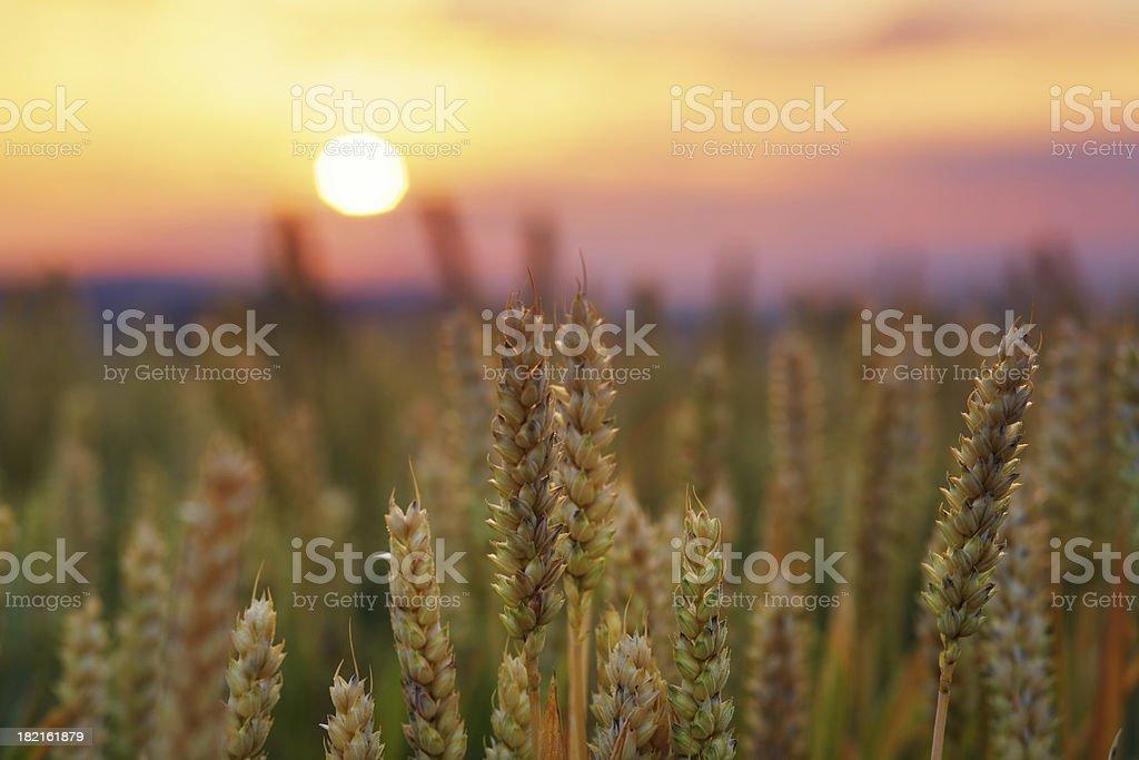 wheat field at sunrise royalty-free stock photo
