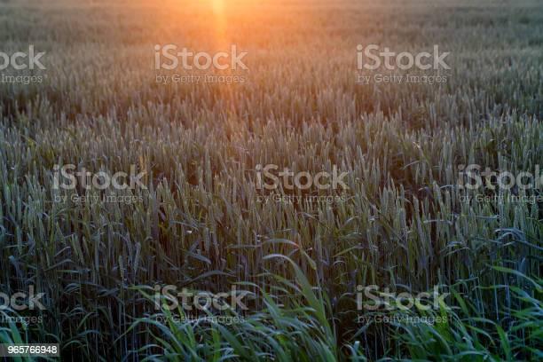 Пшеничное Поле На Закате Красивый Пейзаж — стоковые фотографии и другие картинки Без людей
